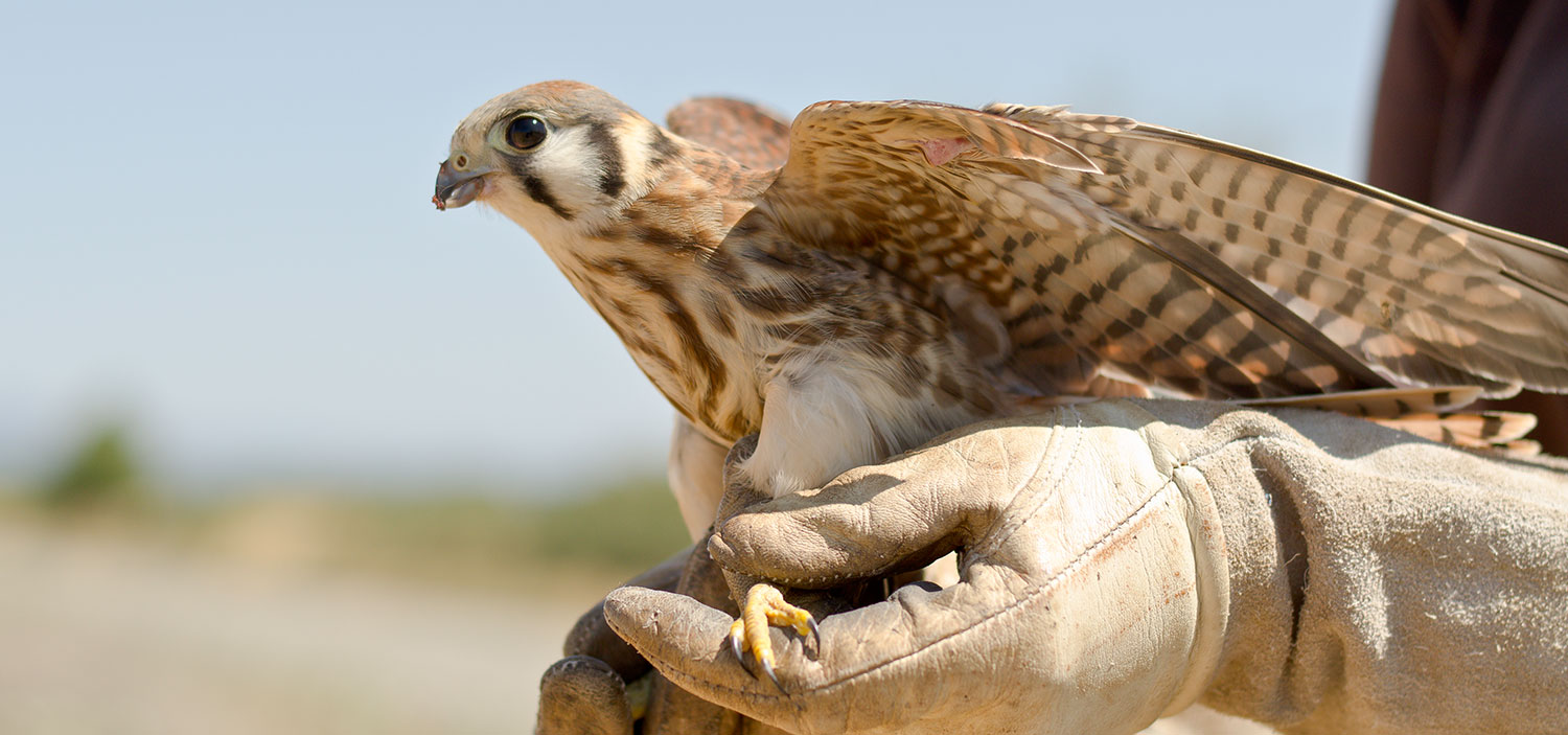 Photo of a kestrel in hands