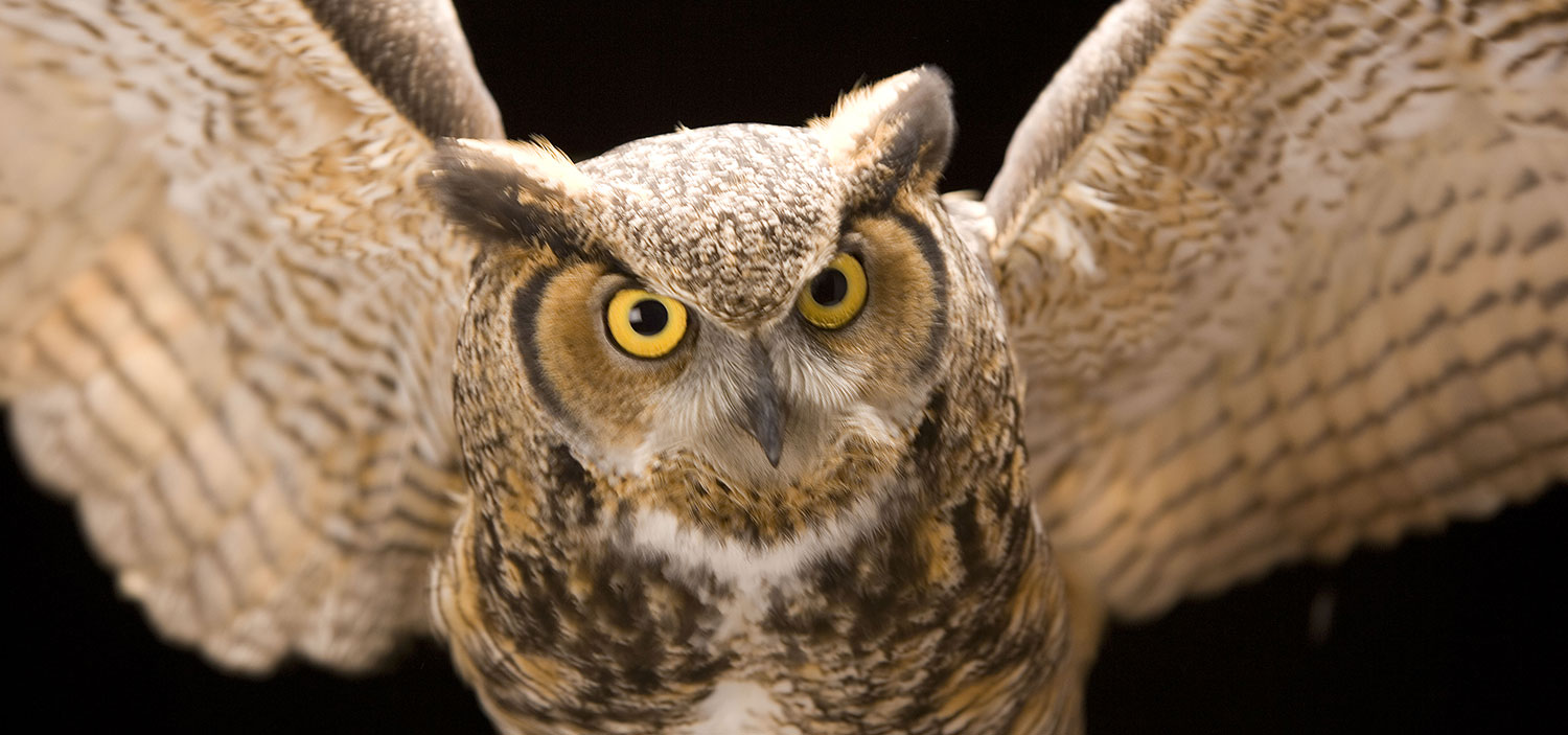 Photo of a owl up close