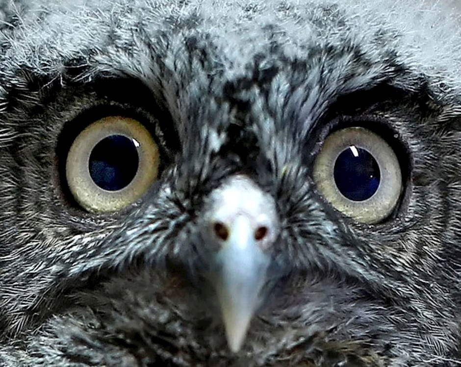 Close up photo of a baby owl's eyes
