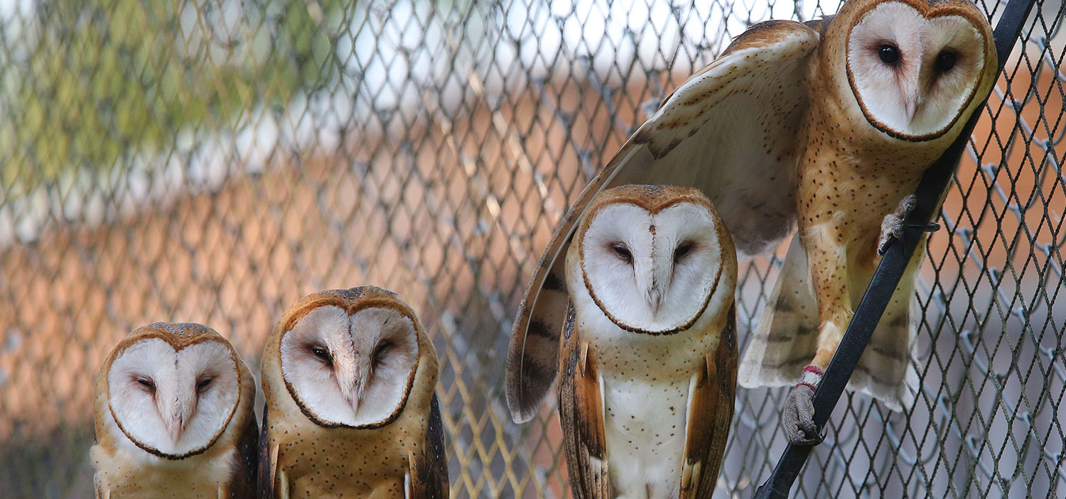 Photo of four owls