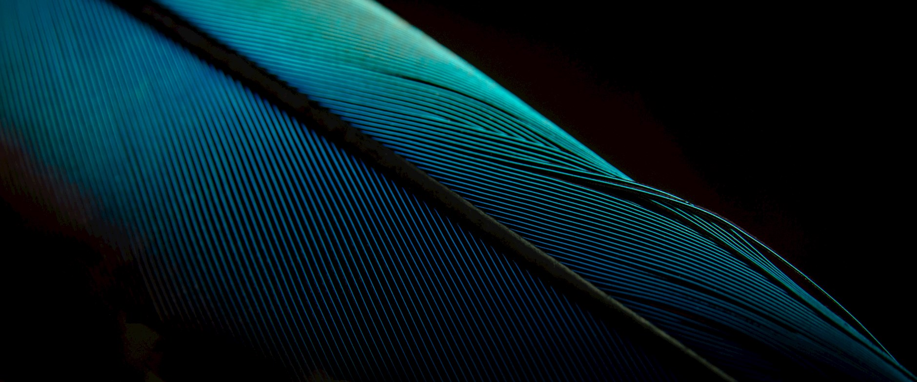 Close up of a bright blue feather on a dark background