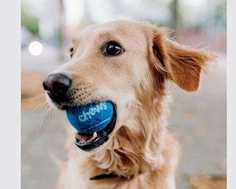 Golden retriever holding a tennis ball in its mouth that says Chewy